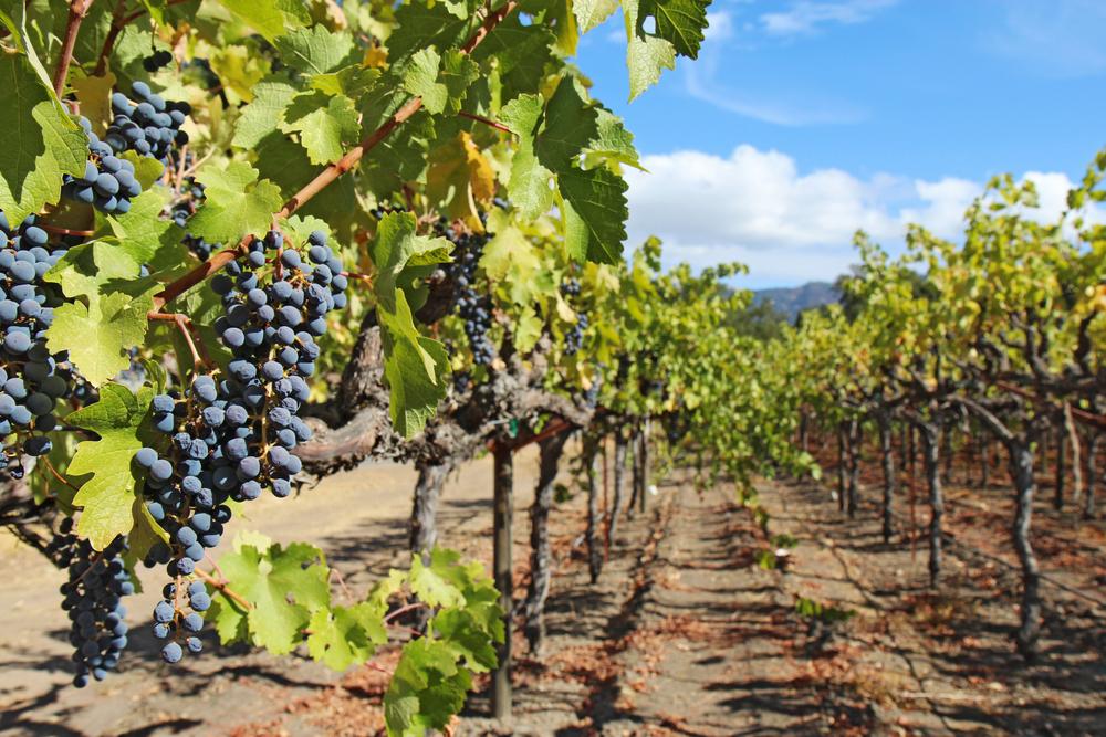 13 Precíziós szőlőtermesztés